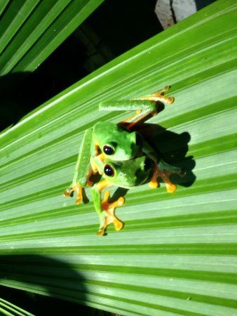 Costa Rica Jade Tours: Red Eyed Tree Frogs (Male and Female) guided night rainforest hike.