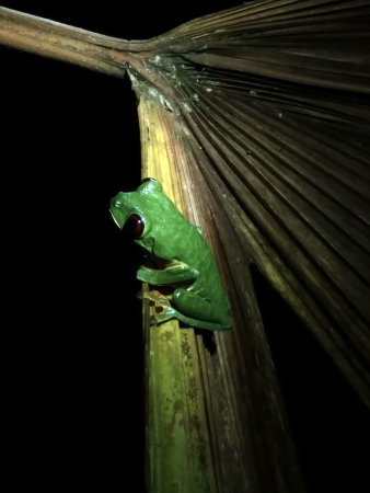 Costa Rica Jade Tours: Red Eyed Tree Frog. Guided night rainforest hike.