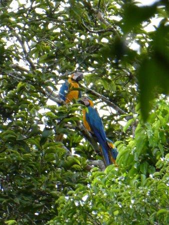 Tapiche Reserve: Blue Gold Mackaw