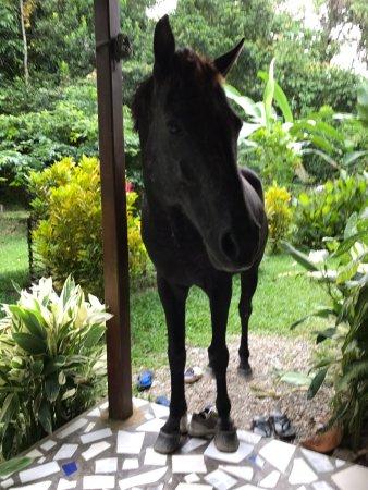 North Sulawesi, Indonesia: Het paard komt een kijkje nemen op het terras
