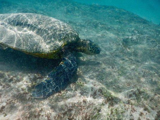 The Ritz-Carlton, Kapalua: Sea Turtle at the adjacent Oneloa Bay