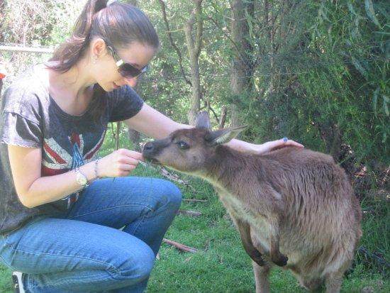 Healesville, Australia: Feeding a Kangaroo