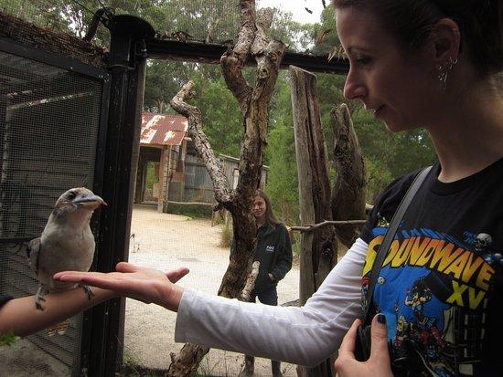 Healesville, Australia: Feeding a Kookaburra