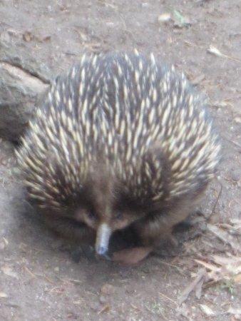 Healesville, Australia: echidna