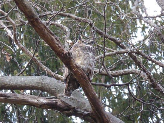 Huntington, NY: Great Horned Owl awaiting call from mate