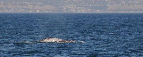 Dana Point, CA: Two whales .