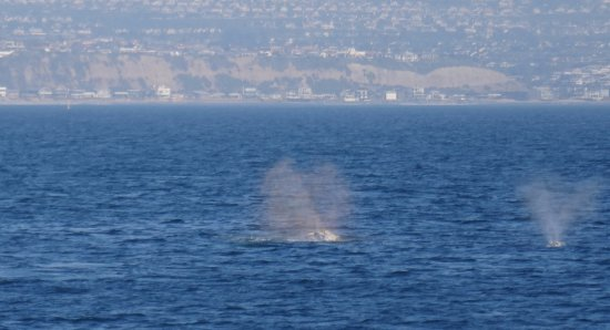 Dana Wharf Whale Watching & Sportfishing: Blows.