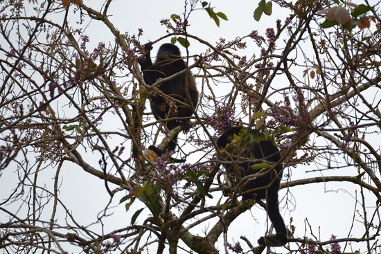 Playa Hermosa, Costa Rica: howler monkey