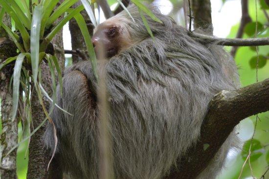 Playa Hermosa, Costa Rica: sloth