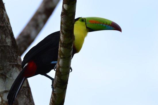 Playa Hermosa, Costa Rica: rainbow toucan