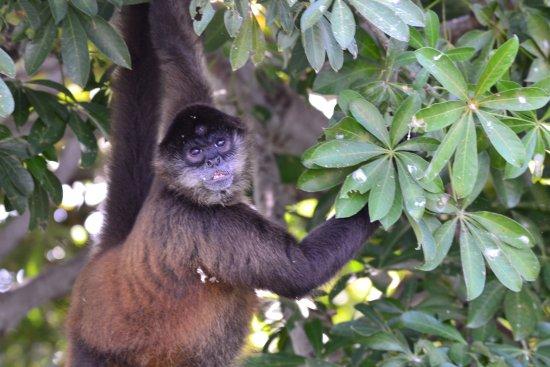 Playa Hermosa, Costa Rica: monkey in nicaragua