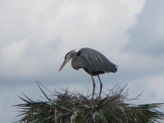 Melbourne, Flórida: Nesting blue heron