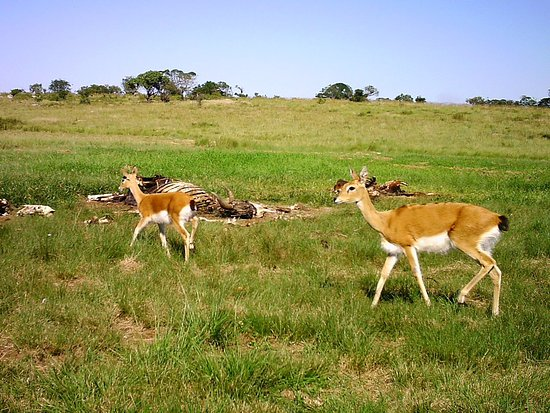 Port Shepstone, Sydafrika: Oribi Antelope by the vulture restaurant