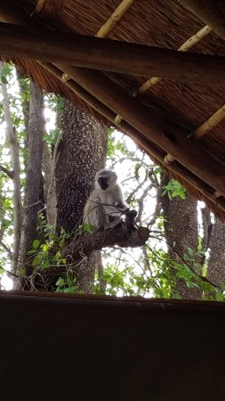 Заповедник Мадикве, Южная Африка: This little monkey was right outside the dining hall