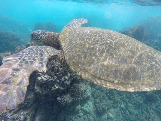 Wailuku, HI: turtles