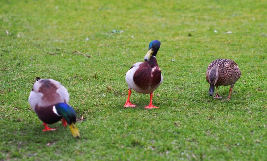 Claremorris, Ireland: Ducks