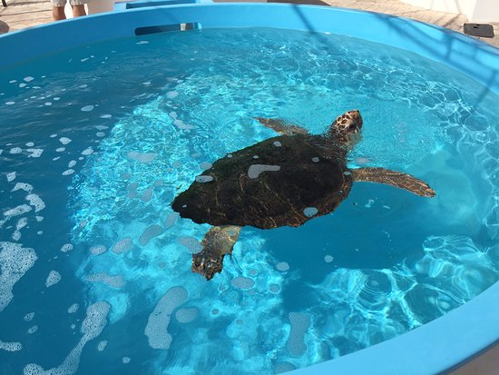 "Juno Beach, FL: One of the many Turtles in tanks - ""Squash"" I believe"