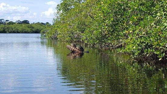 Hobe Sound, FL: Turtles
