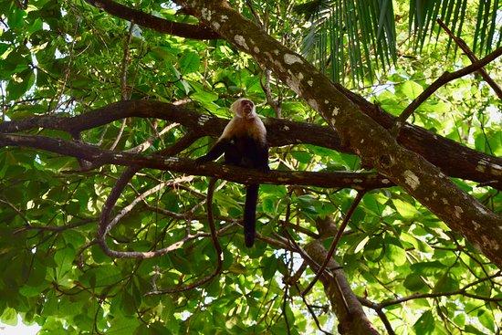 La Chosa del Manglar: Cheeky monkey that steals bananas from the kitchen.