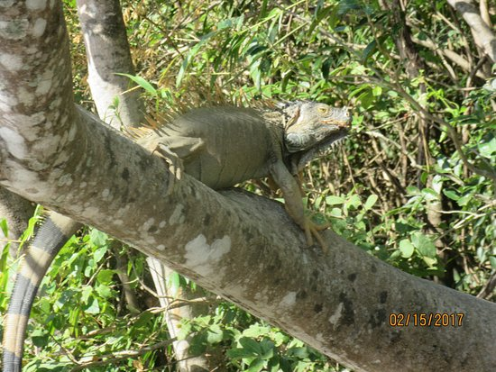 Playa Potrero, Costa Rica: large iguana