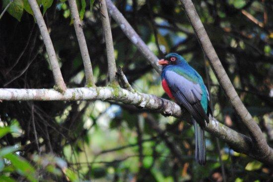 Orange Walk, Belize: Slaty-tailed trogon at the lodge