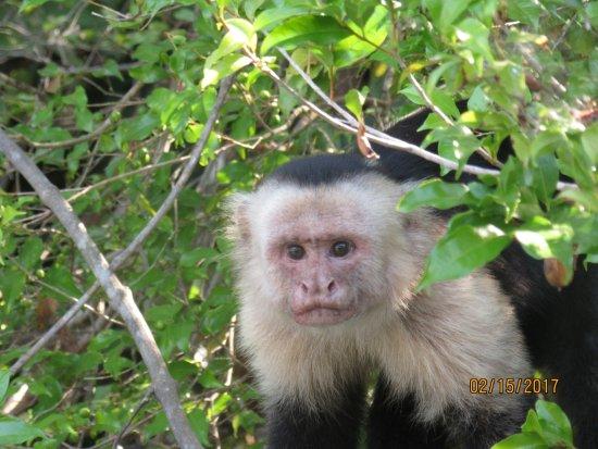 Playa Potrero, Costa Rica: white faced monkey