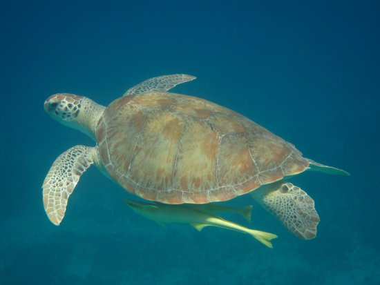 Motor Yacht Cinnamon Bay : Turtle with a Remora trailing