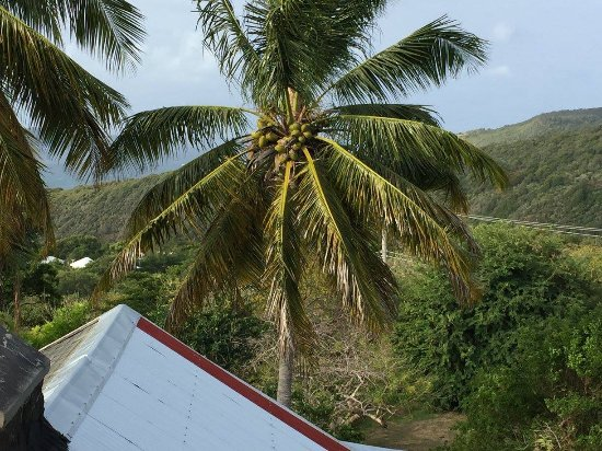 Mount Pleasant, Bequia: View of palm tree with coconuts from out room.