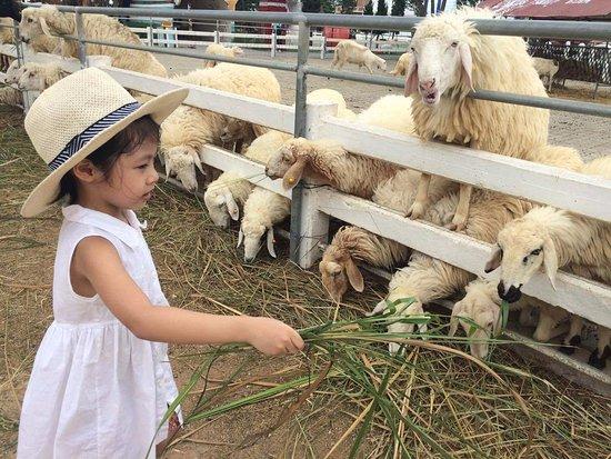 Cha-am, Thailand: feeding the sheep