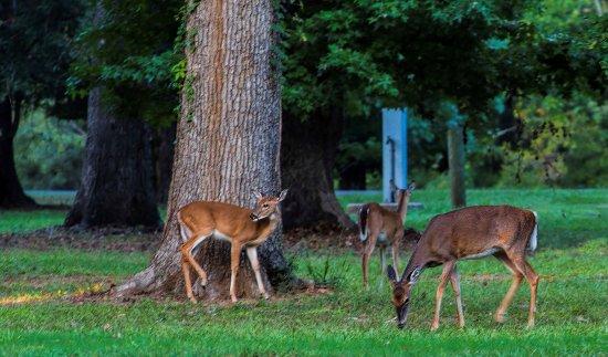 Jasper, Teksas: Local deer grazing daily