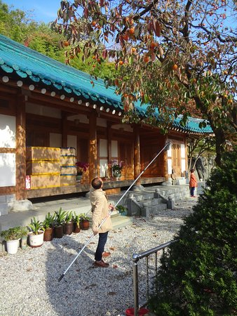Geumsan-gun, Sør-Korea: Picking persimmons at the Blue-Tiled Roof House in Wolmyeongdong