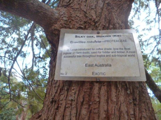Nairobi Arboretum: silky oak tree