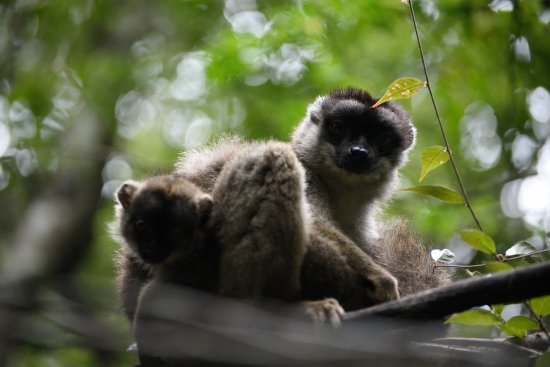 Toamasina Province, Μαδαγασκάρη: Common Brown Lemurs with its baby