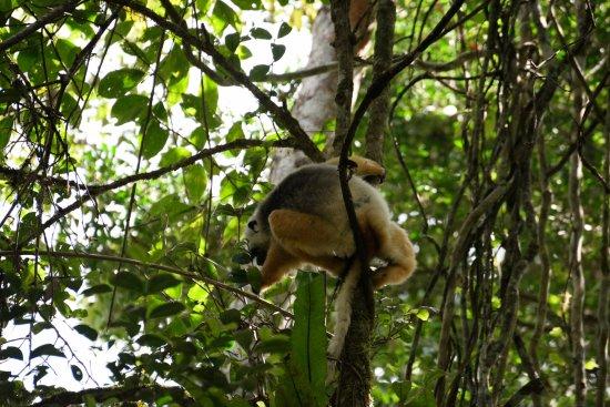 Toamasina Province, Madagascar: This is the Golden Sifaka
