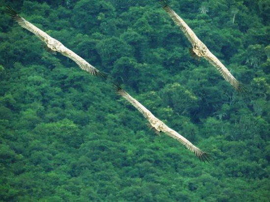 Port Shepstone, South Africa: Soaring vultures
