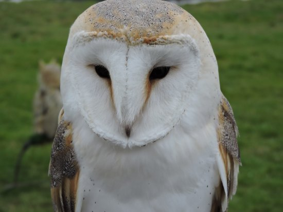 Congresbury, UK: Barn owl