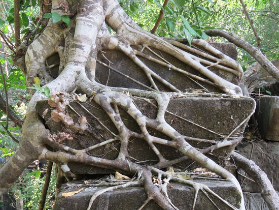 Siem Reap Province, Cambodia: Roots everywhere
