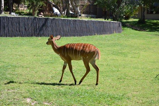 Inyati Game Lodge: Female nyala near the pool