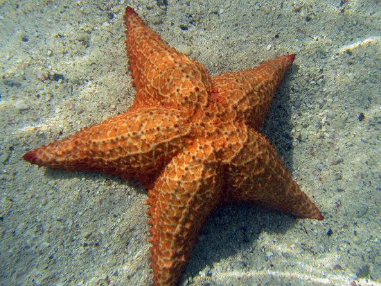 Coral Bay, St. John: Cushion starfish (ake sea star) in the mangroves at Hurricane Hole, St. John, USVI