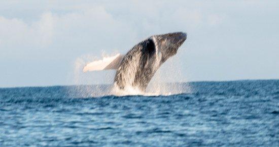 Waikoloa, HI: Adult humpback breach. A little bit out of focus unfortunately.