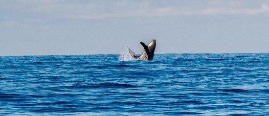Waikoloa, HI: Humpback breach.