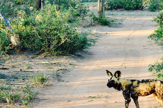 Kambaku Safari Lodge: Wild dog