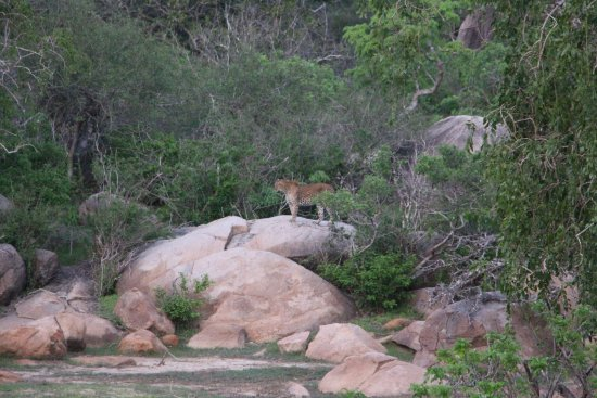 Tissamaharama, Sri Lanka: leopard