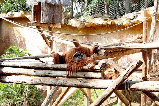 Arona, Spanien: Orangután
