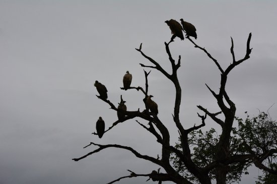 Pongola, South Africa: vultures