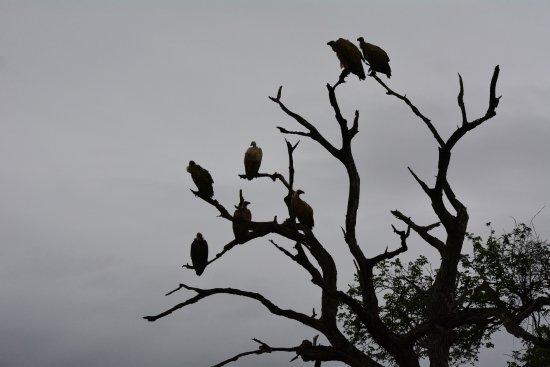 Pongola, Νότια Αφρική: vultures