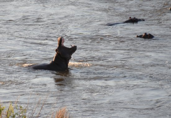 Komatipoort, Sudáfrica: Hippos in the river. Picture from the balcony.
