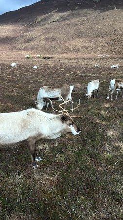 Cairngorm Reindeer Herd: photo2.jpg