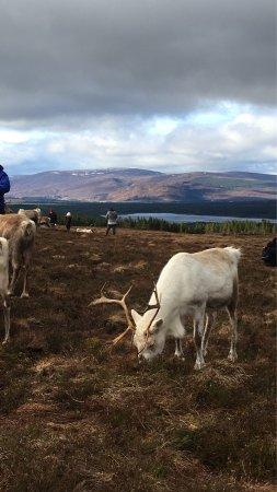 Cairngorm Reindeer Herd: photo3.jpg