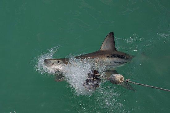 Great White Shark Tours : Ein Hai welche mit Ködern angelockt wurde.